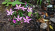 Zeměžluč okolíkatá (Centaurium erythraea)