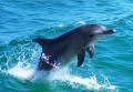 Delfín obecný (Delphinus delphis) - záliv Amvrakikos