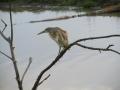 Volavka vlasatá (Ardeola ralloides)