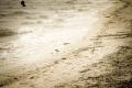 že by nás na pláži šmírovali bratři kulíci? (Kulík mořský)