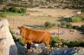 aby krávy nešly na návštěvu kam nemají