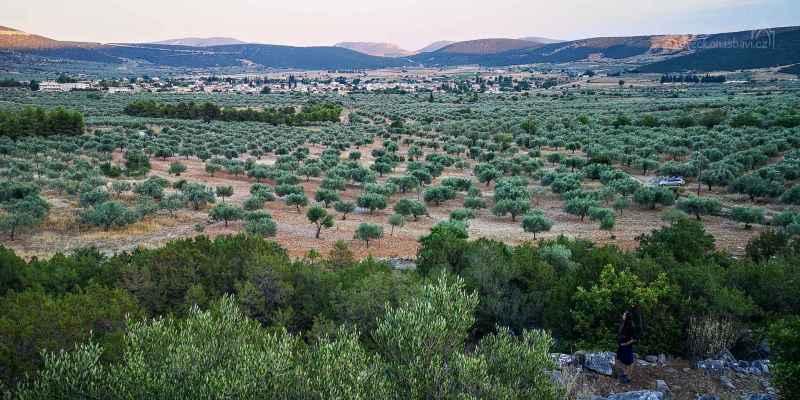 ach těch olivovníků...