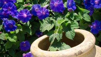 v oblopení květů