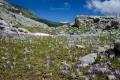 ... a na pole rozkvetlých krokusů!