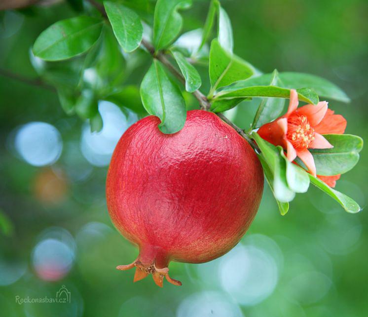 Granátové jablíčko (plod a květ)
