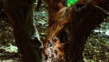 Planika drobnolistá (Arbutus Andrachne – Greek Strawberry tree)
