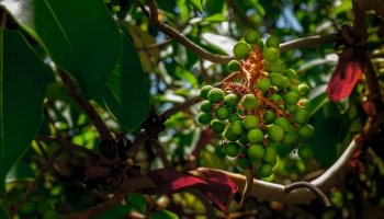 Není vzácností najít na Planice plody vedle květů, my měli štěstí pouze na nezralé kuličky, spíše než jahody připomínající vrásčité hrozny nezralého vína. Zralé plody jsou podle některých zdrojů jedlé, ale mají minimální chuť a jejich konzumace není rozšířena. Prostě si na nich, pokud nejste koza, nepošmáknete.