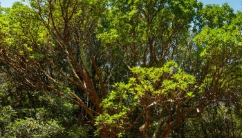 Planiku najdete na mnoha dalších řeckých ostrovech, často jsme na ni narazili třeba na Alonnisosu, ale pouze do velikosti vzrostlého keře. V Lese Randi dorůstá Jahodový strom do opravdu nezvyklé výšky a mohutnosti.