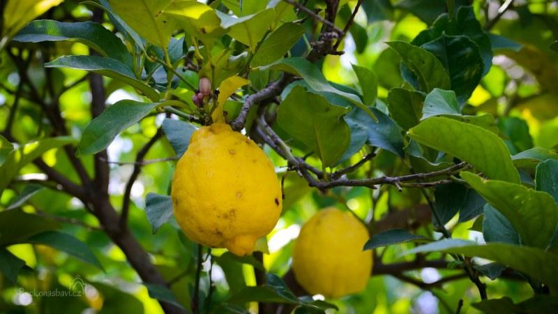 citrónky