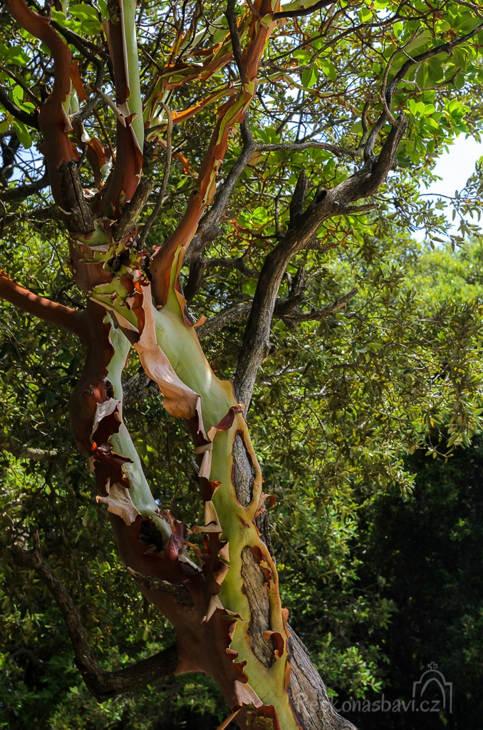 Planika drobnolistá (Arbutus Andrachne – Greek Strawberry tree)