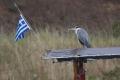 Volavka popelavá (Ardea cinerea) se hrdě hlásí ke své domovině :)