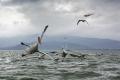 Vassilis háže ptákům rybu do protipohybu, pelikán tak musí během vteřiny manévrovat opačným směrem :D