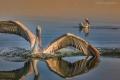 Pelikán má rozpětí křídel až 3 metry!