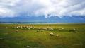 stádo oveček