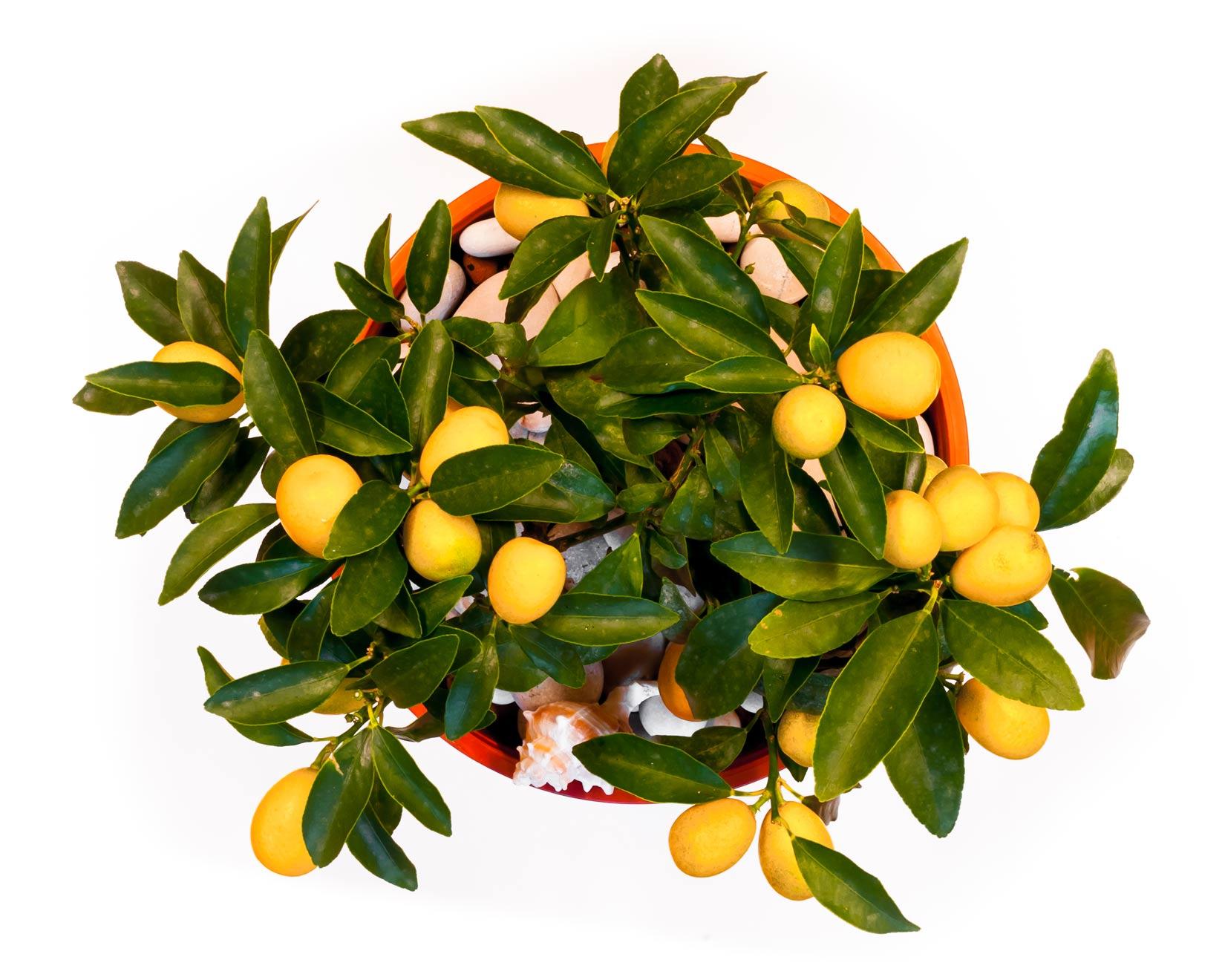 Dozrávající plody kumquátu u vás doma můžete zpracovat i do likéru