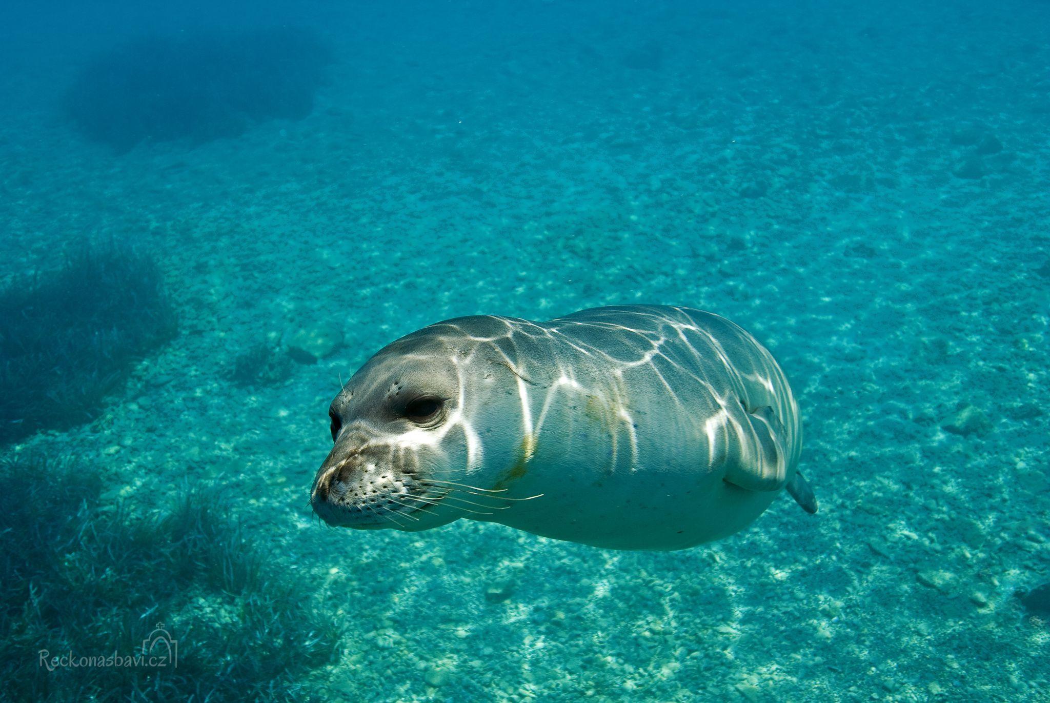 Tuleň středomořský (Monachus monachus)!