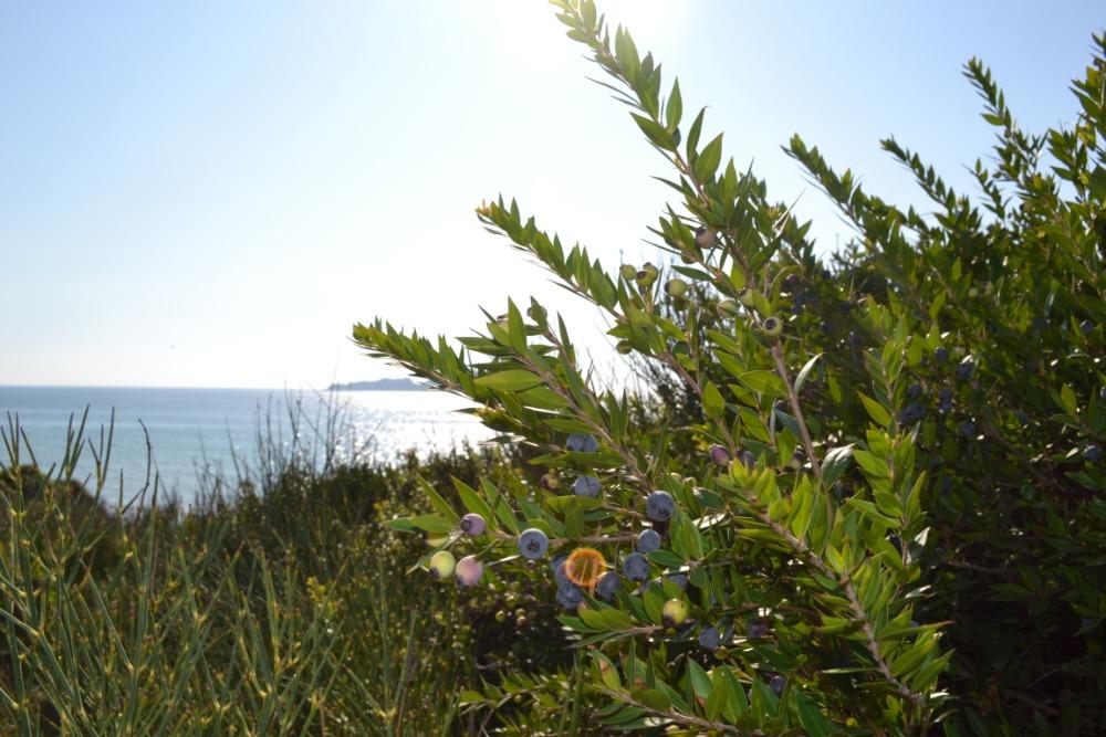 Od května do srpna zdobí pobřeží ostrova Korfu svými zářivými bílými květy a na podzim sbíráme plody připomínající borůvky.