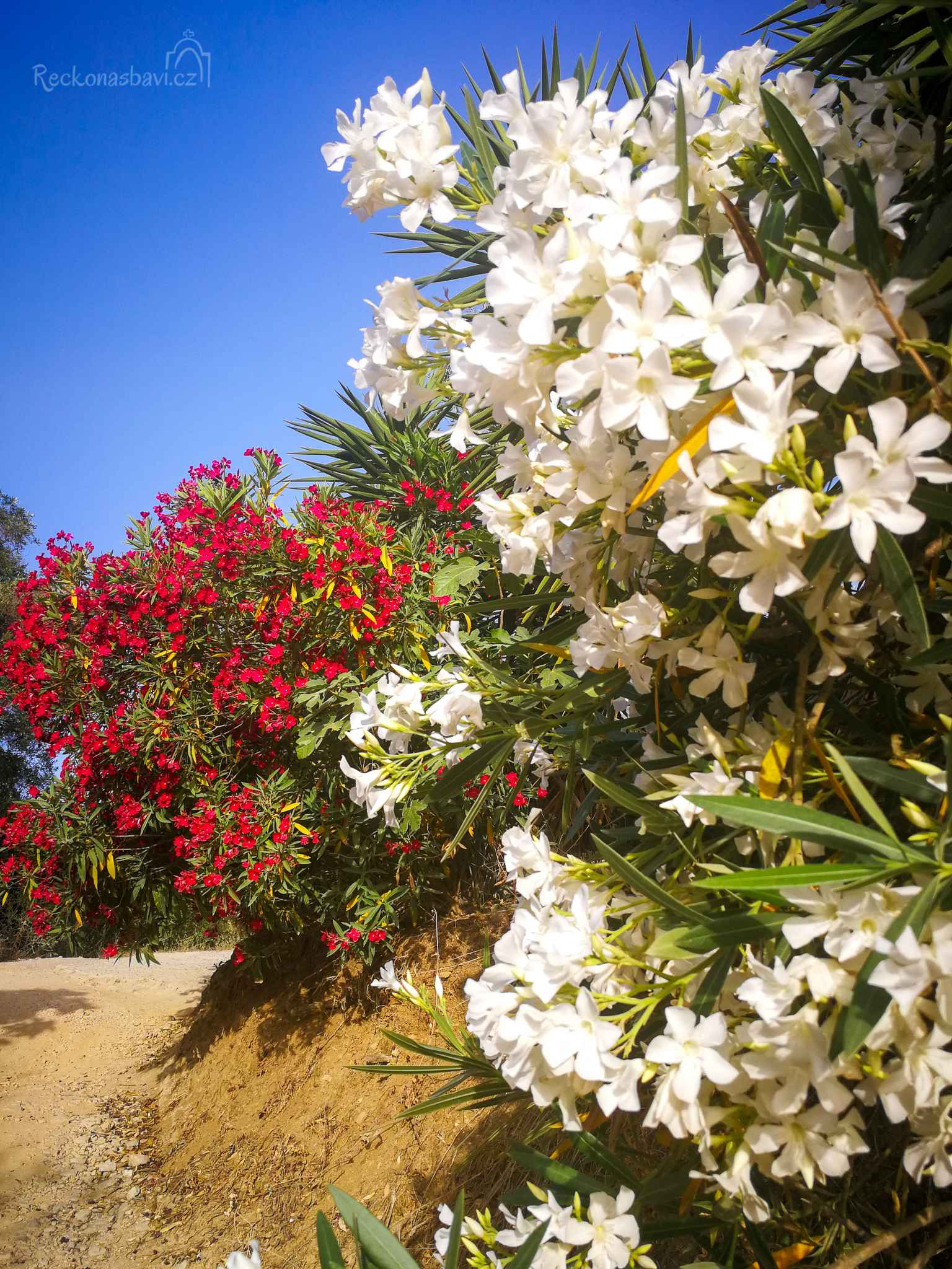 Takto krásně zdobí cesty oleandry u nás, na ostrově Korfu
