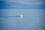 kde se to pelikány jenom hemží
