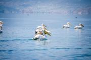a na Prespanském jezeře jich najdete tisíce!