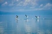 Pelikáni před rychlým člunem okamžitě utíkaj a my se kocháme jejich nádhernými křídly