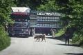 pastevci z jihu na hodinu zablokovali silnici a vykládají ovečky