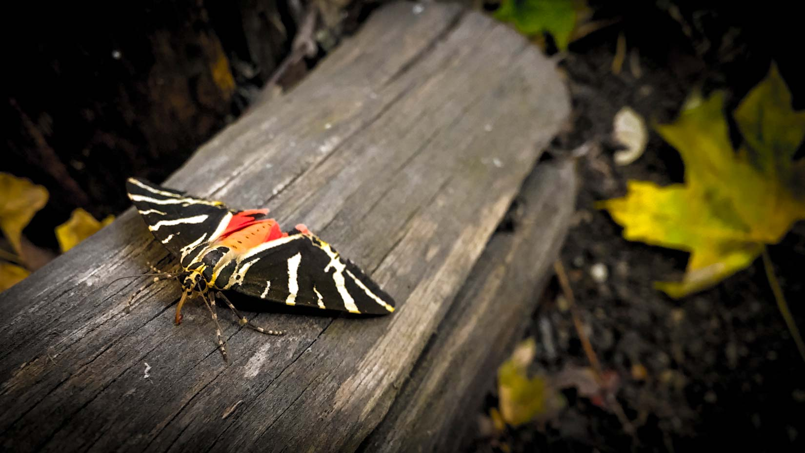 Tady už se nám motýlek Panaxia nápadně vybarvuje a máte vidět, když přilétají a odlétají ze skupinové seance - jen to rudě bliká na všechny strany