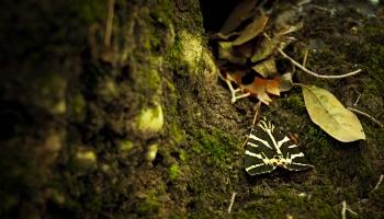 Dokud motýlek rodu Panaxia neroztáhne křidélka, tak si ho téměř nevšimnete.