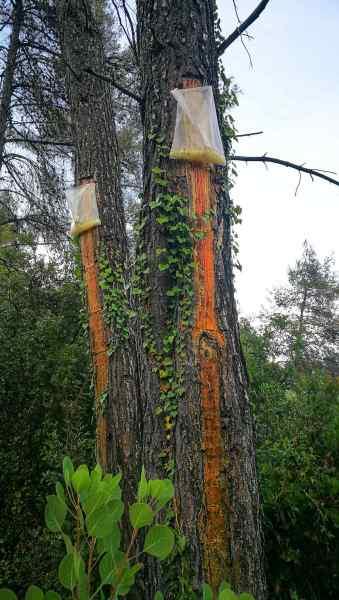 Na mnoha místech ostrova naleznete osekanou kůru stromů a pytlíky, do kterých se už po mnoho generací sbírá vonná pryskyřice. Ta pak nachází své využití nejen v Retsině, ale i v mnoha kosmetických výrobcích.
