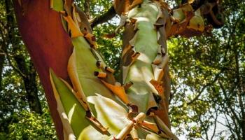 Jahodový strom... Planika... dřevina na středozemních ostrovech běžná jako u nás kozečky, na Ikarii ovšem dorůstající nebývalých rozměrů vás bude provázet podél všech vašich cest